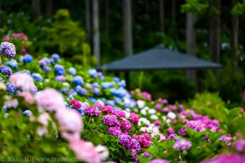 chiba-hydrangea-garden-56