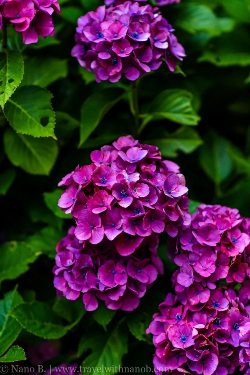 chiba-hydrangea-garden-60