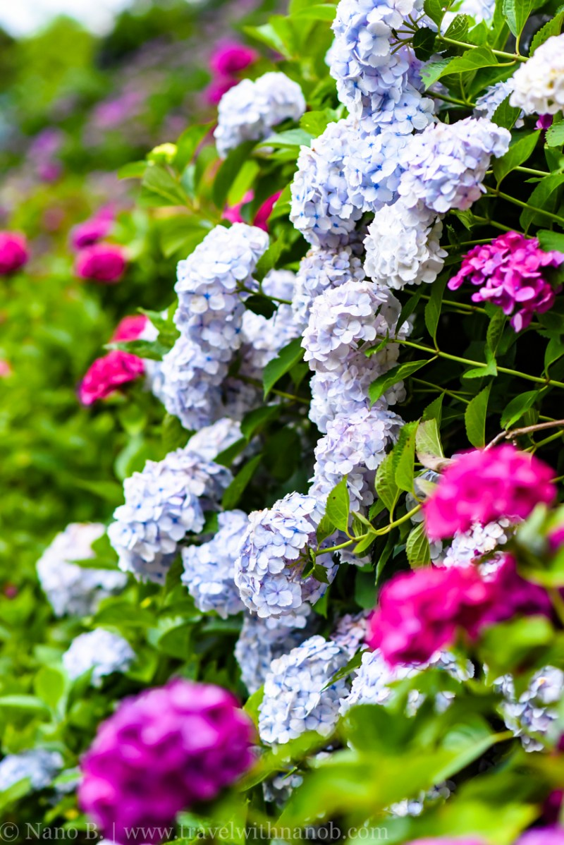 chiba-hydrangea-garden-63