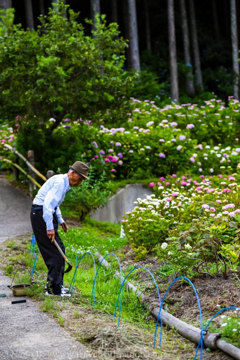 chiba-hydrangea-garden-76