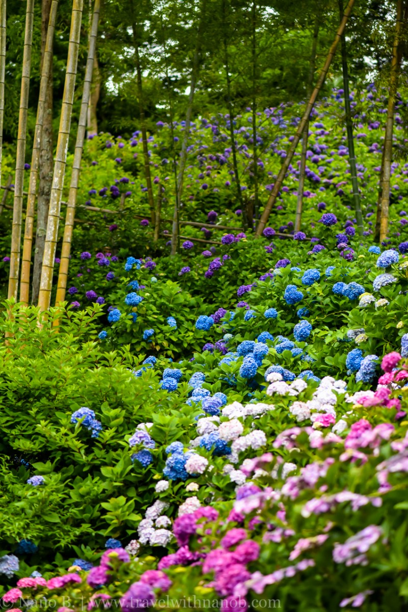 chiba-hydrangea-garden-79