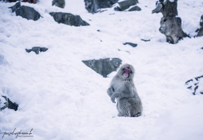 japanese-snow-monkeys-jigokudani-nagano-15