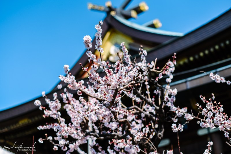 plum-blossoms-tokyo-10