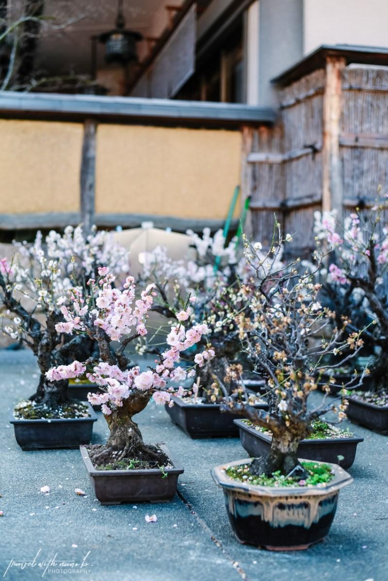 plum-blossoms-tokyo-11