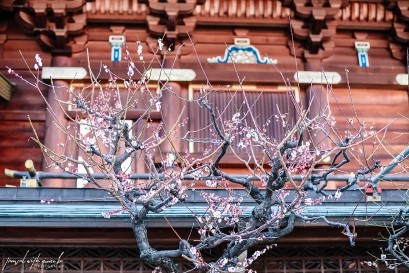 plum-blossoms-tokyo-14