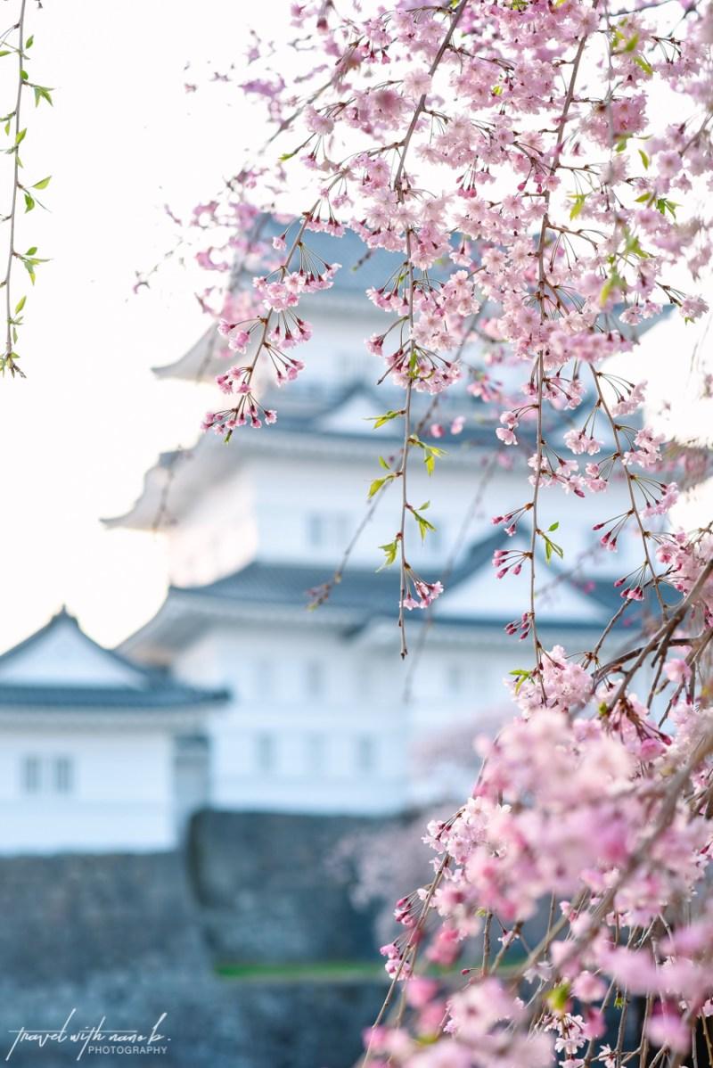 cherry-blossoms-odawara-14