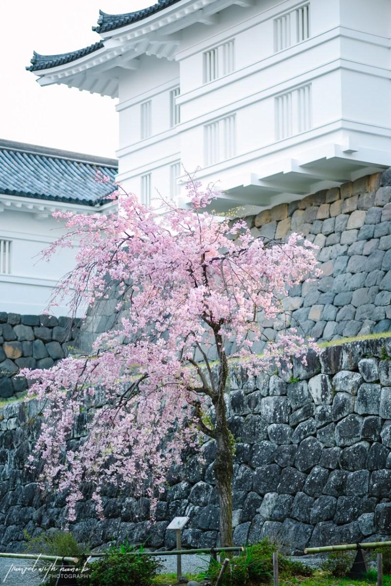 cherry-blossoms-odawara-18