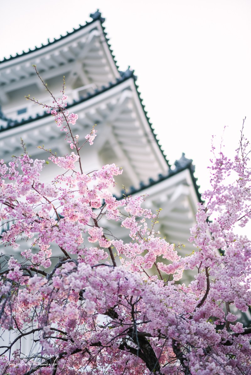 cherry-blossoms-odawara-20