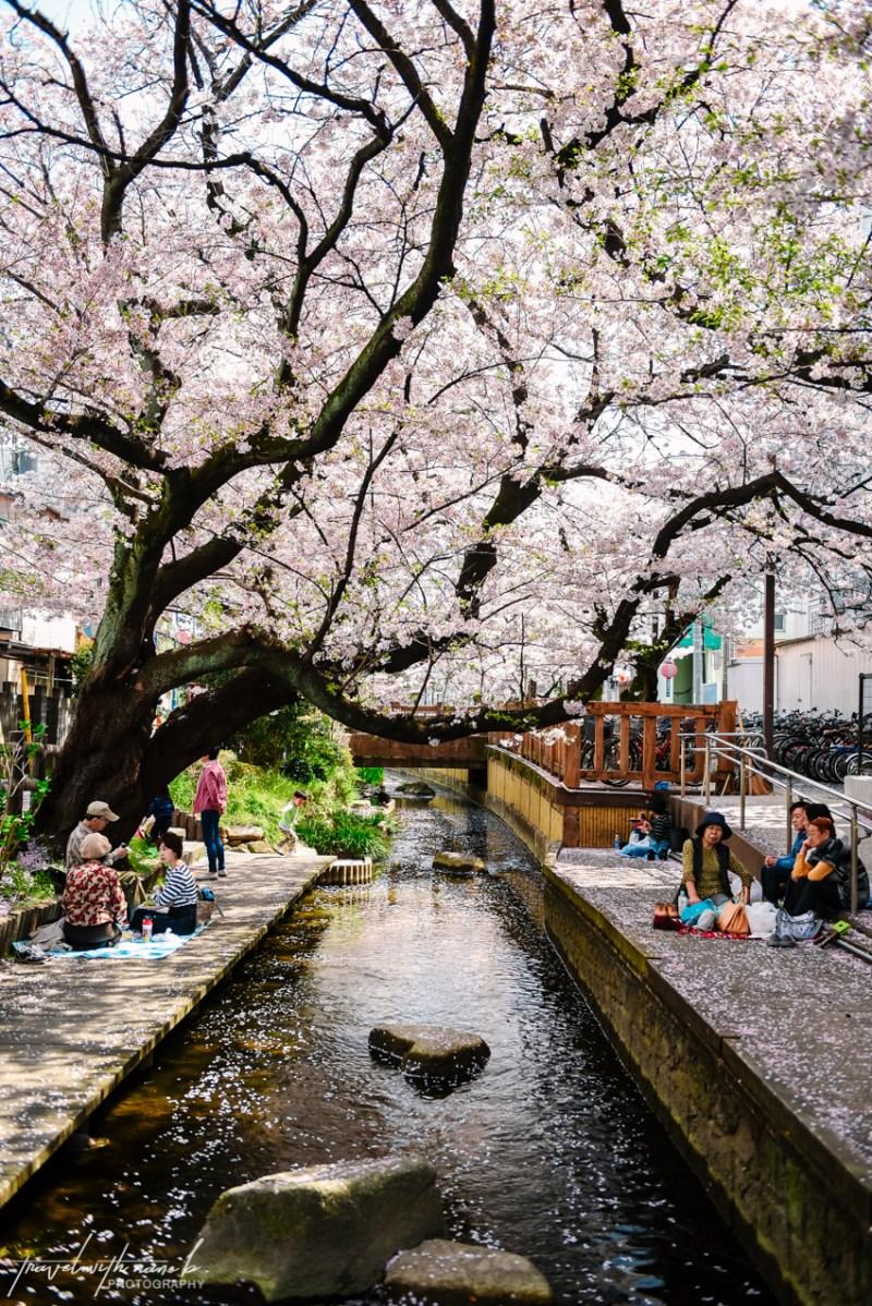 cherry-blossoms-tokyo-25