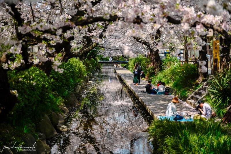cherry-blossoms-tokyo-26