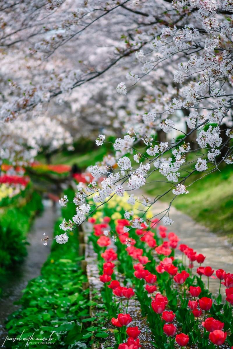 cherry-blossoms-yokohama-25