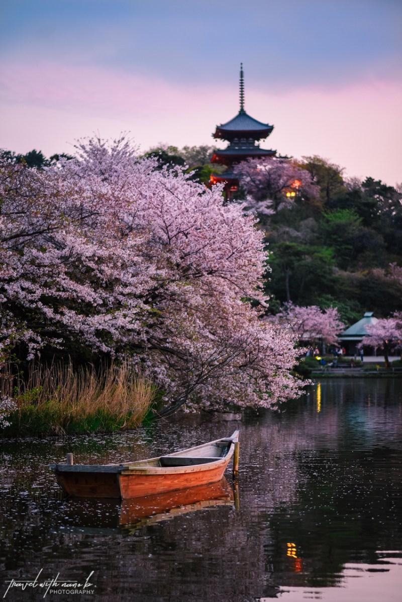 cherry-blossoms-yokohama-29