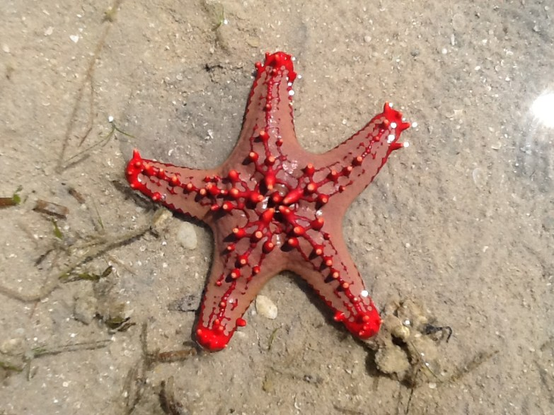 Starfish with blazing colors in Mozambique