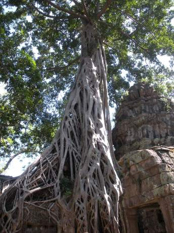 Large roots encroaching on the temples in Angkor Wat