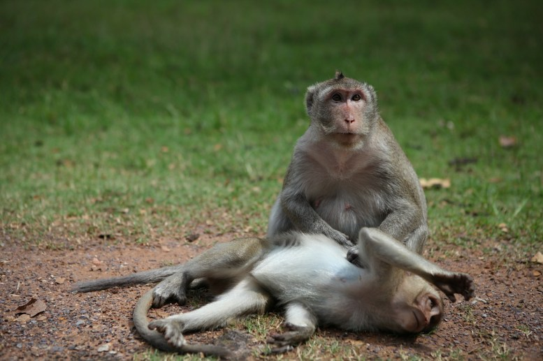Two monkeys on the ground near Angkor Wat