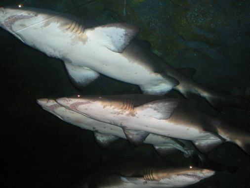 Dubai mall, sharks, manta rays, Dubai aquarium