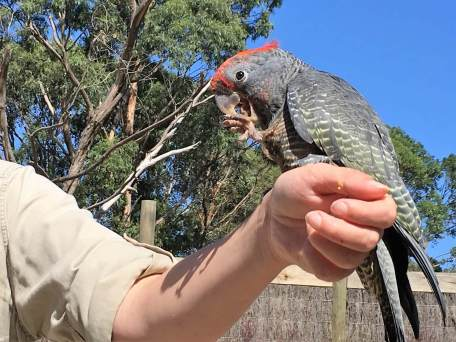 Parrot in Australia