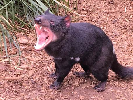 Devil in Tasmania