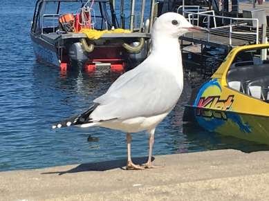 New Zealand gull on New Zealand's route 6