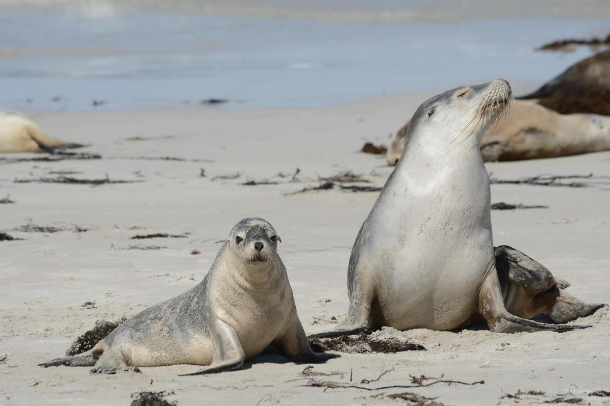 Australian sea lions on Kangaroo Island day trip
