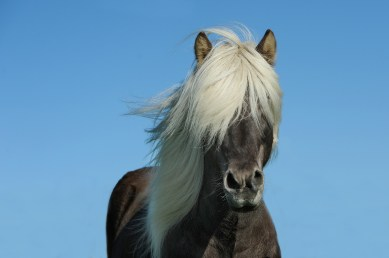 Pony in Iceland
