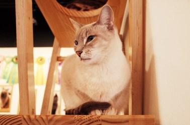cat cafes, japan experiences