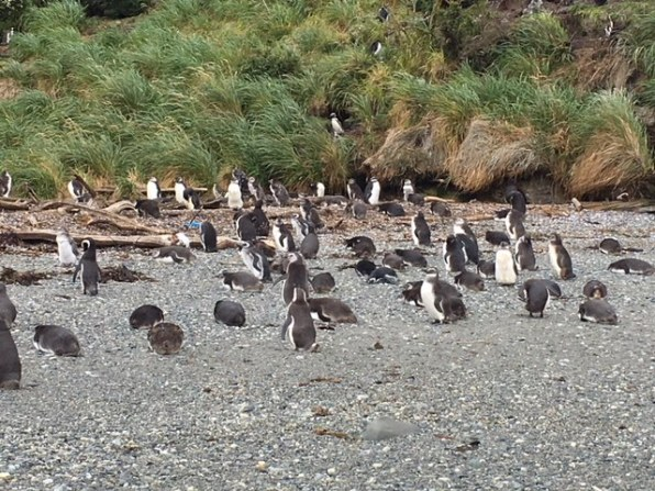 You see Magellan Penguins on trip from Buenos Aires to Patagonia