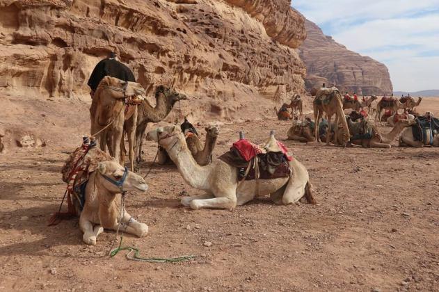 Camels at rest in the desert camp