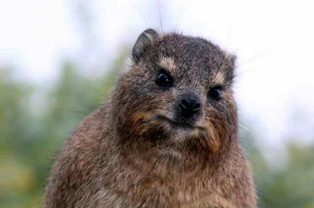 "The Rock Hyrax, or ""Dassie""!"