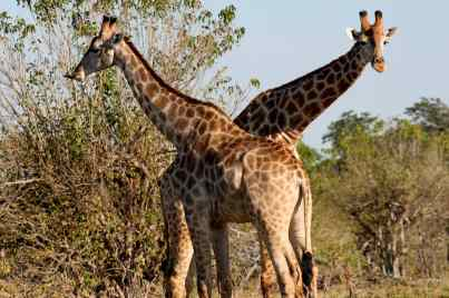 Two giraffes in Chobe