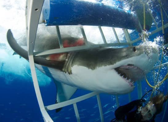 Great White Shark, shark week, guadelupe island, shark cage accident
