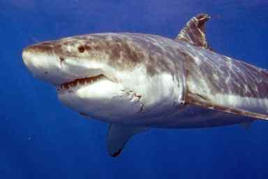 Great White Shark, shark week, shark cage accident