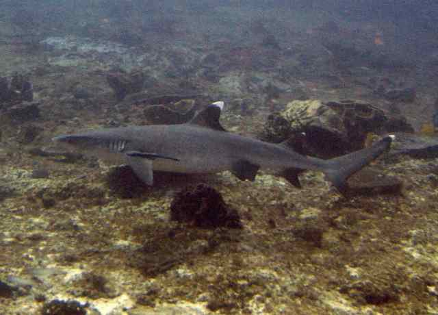 White Tip Shark!