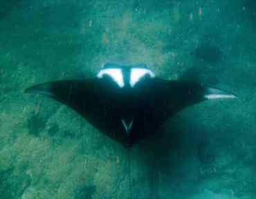 My first Giant Manta