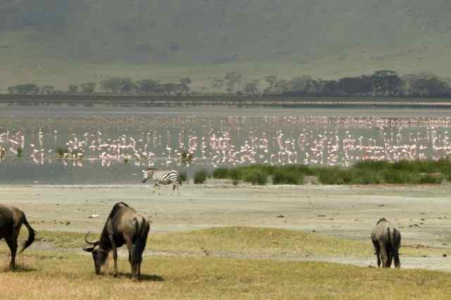 Wildebeest and flamingo in the crater