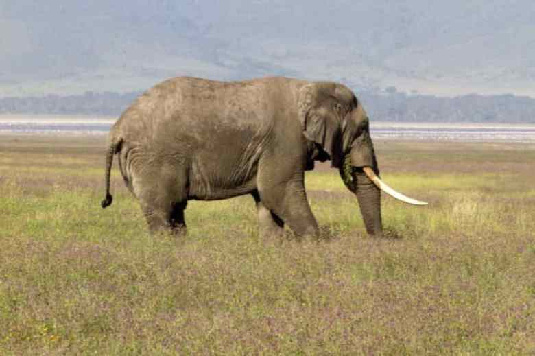tan 12 sg eleph