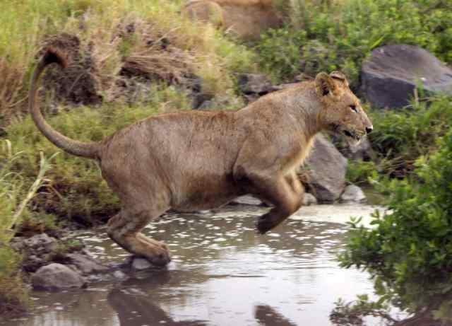 safari, lion, africa
