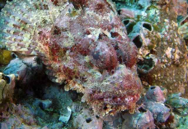 Scorpionfish eyes