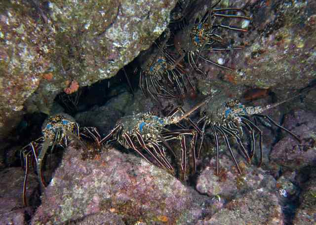 Lobsters and Morays in every crevice!