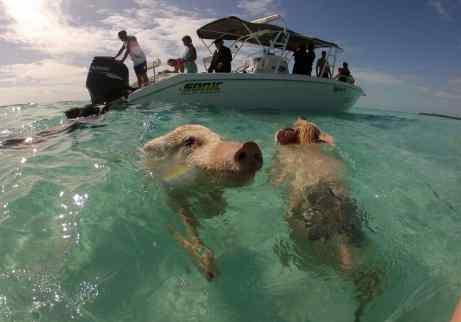 swimming pigs, exumas, bahamas