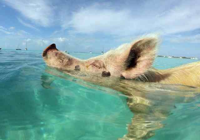 Happy as a pig in the....Caribbean?