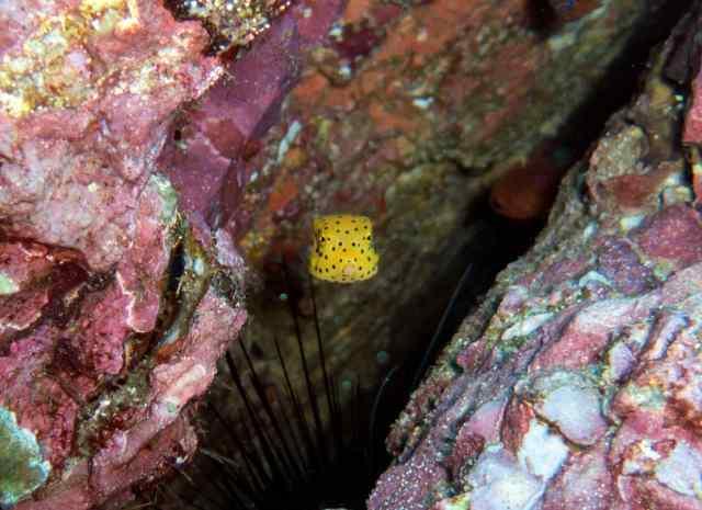 Adorable baby boxfish, just taking shape! cute, cute, cute!