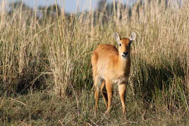 The rare Red Lechwe