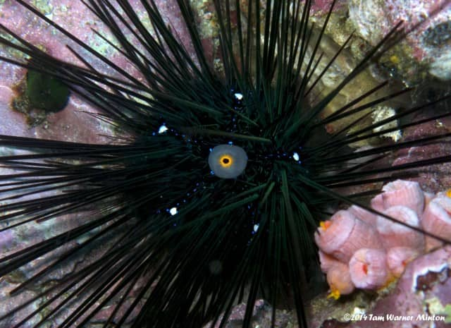 This sea urchin has a neon blue star pattern!
