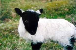 uk 07 little lamb on bodmin moor