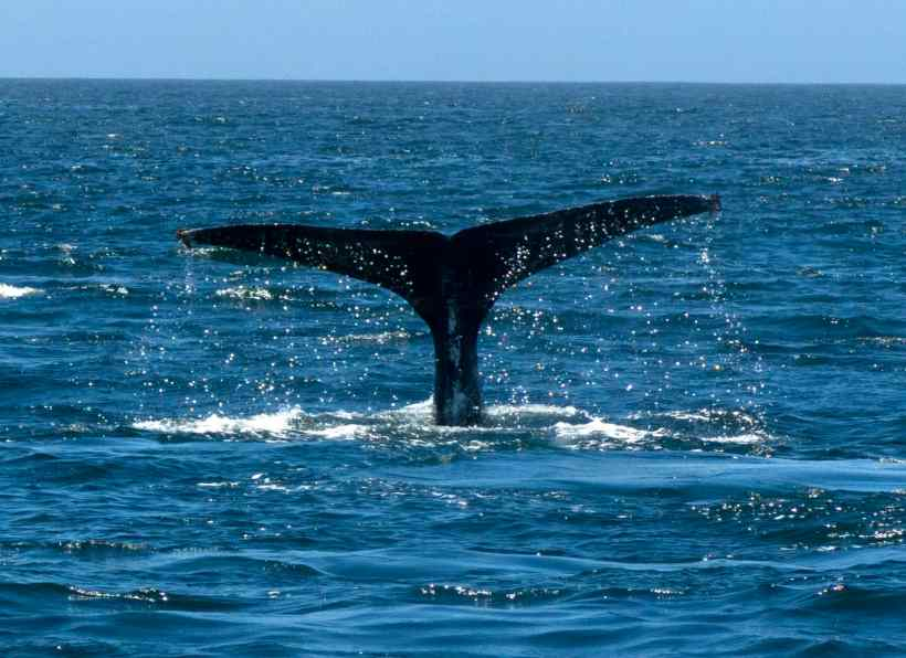 A Humpback Whale Fluke is unique and used to identify the animal.