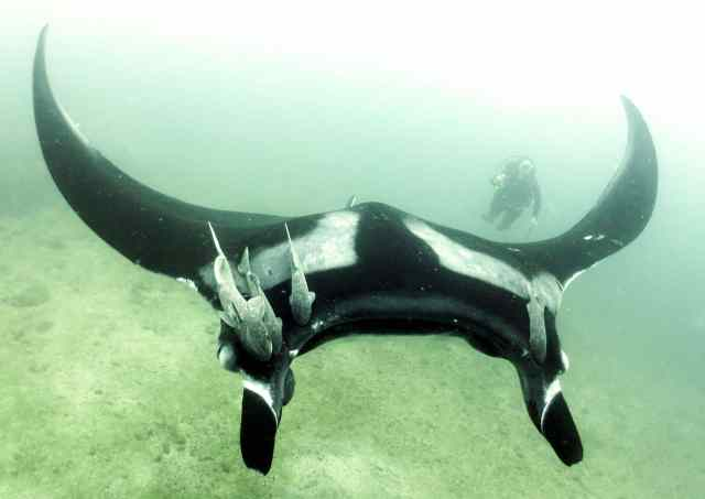 This beautiful manta has hitch hikers on board!