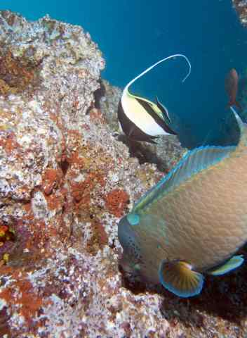 A Humphead Parrotfish and a Moorish Idol
