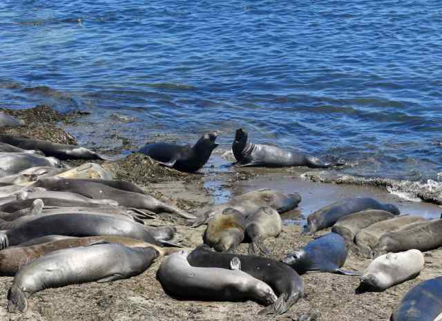 Big Sur's elephant seals!