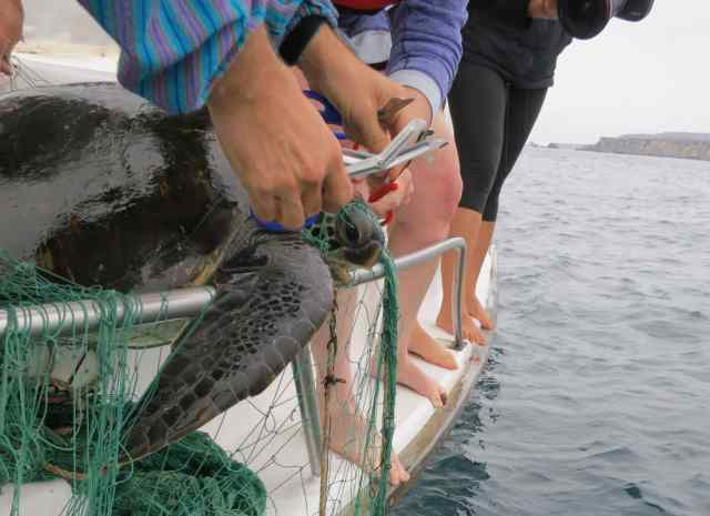 Rescuing a sea turtle from fishing line